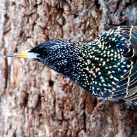 Starlings, Rhabdornis -Sturnidae