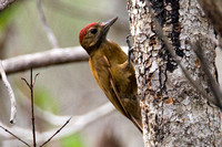 Smoky-brown Woodpecker (Picoides fumigatus)
