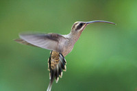 Long-tailed Hermit- Phaethornis superciliosus