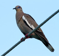 White-winged Dove- Zenaida asiatica