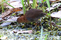 White-throated Crake (Laterallus albigularis)