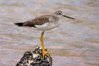 Greater Yellowlegs (Tringa melanoleuca)