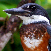Ringed Kingfisher (Megaceryle torquata) female