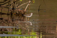 Spotted Sandpiper (Actitis macularia)