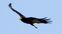 Greater Yellow-headed Vulture (Cathartes melambrotus)