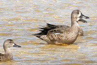 Blue-winged Teal (Anas discors) female and male
