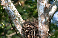Red-shouldered Hawk (Buteo lineatus) nest
