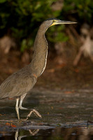 Bare-throated Tiger Heron (Tigrisoma mexicanum)