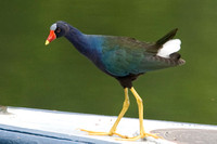 American Purple Gallinule (Porphyrio martinica)
