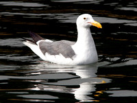 Western Gull (Larus occidentalis)