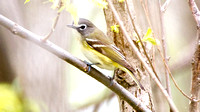 Blue-headed Vireo- Vireo solitarius