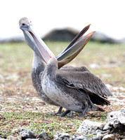 Brown Pelican (Pelecanus occidentalis) immature