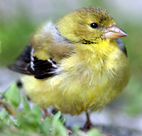 American Goldfinch (Carduelis tristis) fledgling