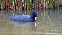 Andean Coot (Fulica ardesiaca)