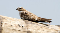 Sand-coloured Nighthawk- Chordeiles rupestris