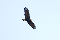 Zone-tailed Hawk (Buteo albonotatus)