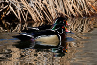 Wood Duck or Carolina Duck (Aix sponsa) male