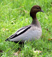 Australian Wood Duck (Chenonetta jubata) male; also known as Maned Duck, Maned Goose