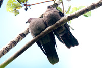 Short-billed Pigeon (Patagioenas nigrirostris)