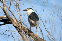 Black-crowned Night-heron- Nycticorax nycticorax