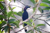 Asian Black Hornbill (Anthracoceros malayanus) female