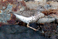 Spotted Sandpiper (Actitis macularius syn. Actitis macularia)