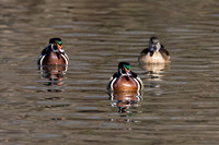 Wood Duck or Carolina Duck (Aix sponsa) male and female