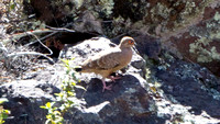 Bare-faced Ground Dove- Metriopelia ceciliae