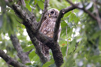 Barred Owl (Strix varia) juvenile