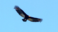 Greater Yellow-headed Vulture- Cathartes melambrotus