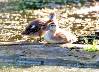 Wood Duck or Carolina Duck (Aix sponsa) juvenile