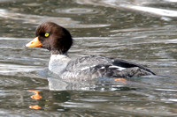Barrow's Goldeneye (Bucephala islandica) female