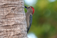 Golden-fronted Woodpecker (Melanerpes aurifrons) male