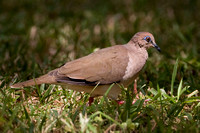 White-tipped Dove- Leptotila verreauxi