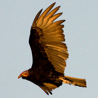 Lesser Yellow-headed Vulture (Cathartes burrovianus)