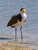 Masked Lapwing (Vanellus miles) also known as Masked Plover, Spur-winged Plover