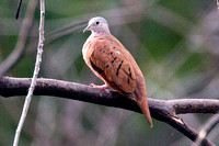 Ruddy Ground Dove- Columbina talpacoti