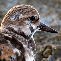 Ruddy Turnstone- Arenaria interpres