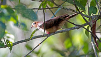 Little Cuckoo-Dove- Macropygia ruficeps