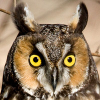 Long-eared Owl- Asio otus