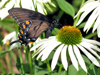 Eastern Tiger Swallowtail (Papilio glaucus) dark form, female