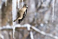 Downy Woodpecker (Picoides pubescens)