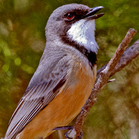 Pachycephalidae - Whistlers and allies