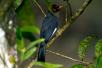 Chestnut-hooded Laughingthrush- Rhinocichla treacheri
