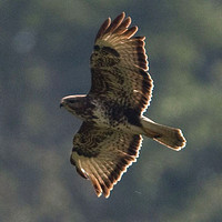 Common Buzzard- Buteo buteo