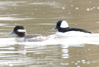 Bufflehead (Bucephala albeola) male and female