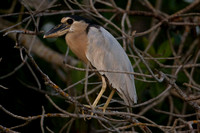 Boat-billed Heron- Cochlearius cochlearius