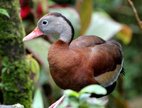 Black-bellied Whistling-duck (Dendrocygna autumnalis)