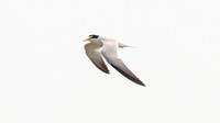 Yellow-billed Tern (Sternula superciliaris)