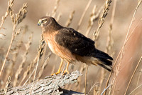 Hen Harrier (Circus cyaneus) also known as Northern Harrier